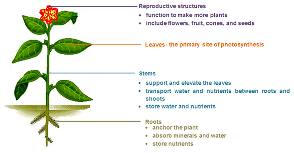 function of plant organs Like animals, plants are multicellular eukaryotes whose bodies are composed of organs, tissues, and cells with highly specialized functions the relationships between plant organs, tissues, and cell types are illustrated below.