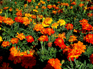 A photograph of a large bunch of marigolds growing in a garden.