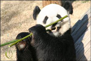 Photo of a panda bear eating bamboo