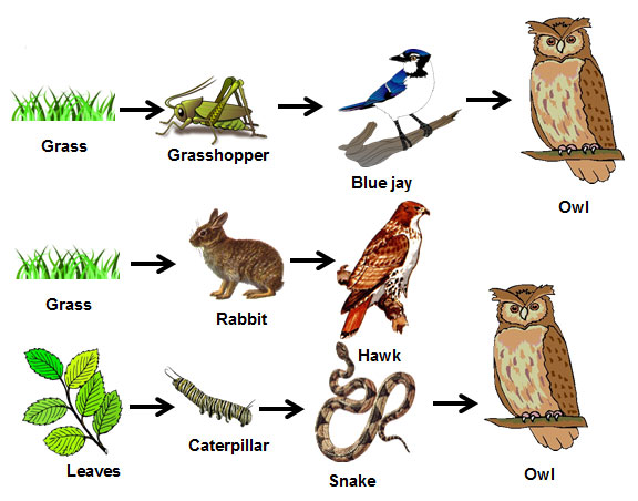 "organisms of a food chain in the desert In a food chain in our southwestern desert region – as in a food chain in any other biologically distinctive region, or ""biome,"" on earth – it is the plants, or the ""producers,"" that capture the energy from the sun and initiate the flow, becoming the."