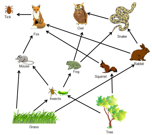 What Eats A Fox In The Food Web
