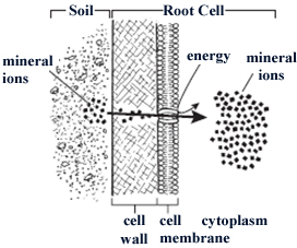 Untitled document the diagram below illustrates how plant root cells take in mineral ions from the surrounding soil ccuart Gallery