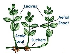 Asexual reproduction in plants images png