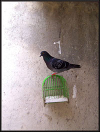 A photograph of a pigeon sitting on top of a bird cage