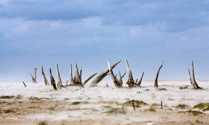 exposed tree stumps and blowing sand on a dry lake bed