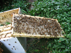 A photograph of a bee keeper's bee hive covered with bees