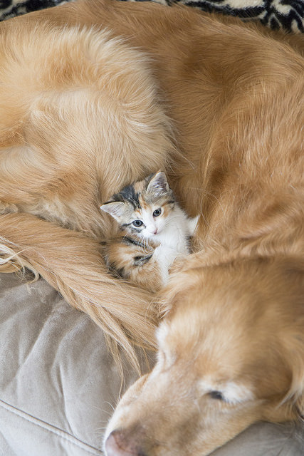 A kitten cuddles with an adult dog.