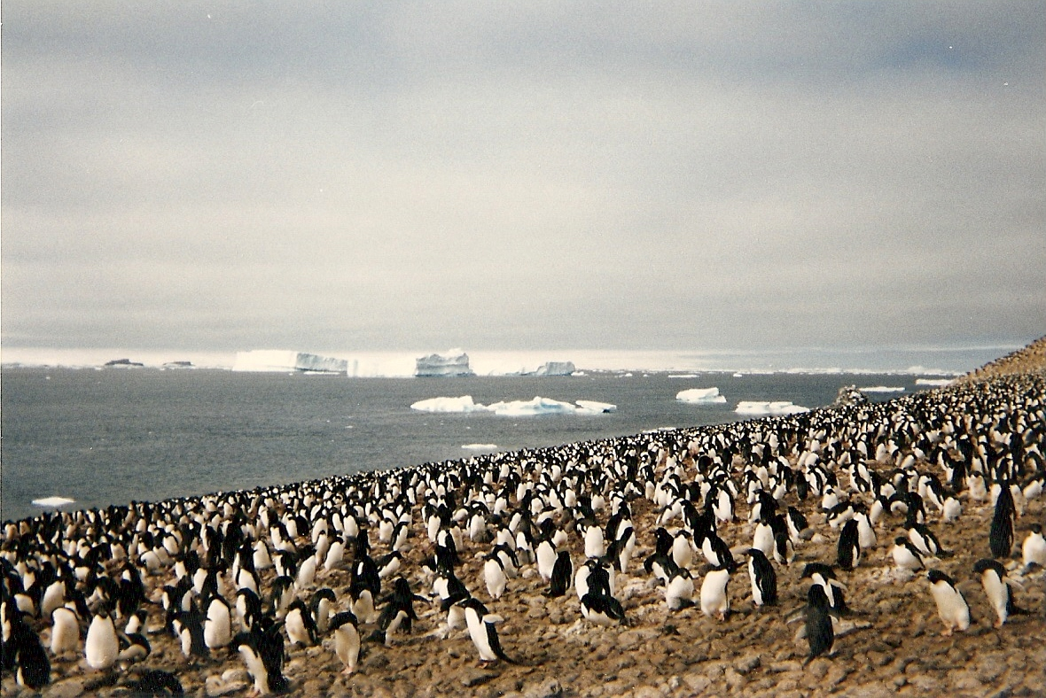 Adélie penguin rookery at Erebus and Terror Gulf