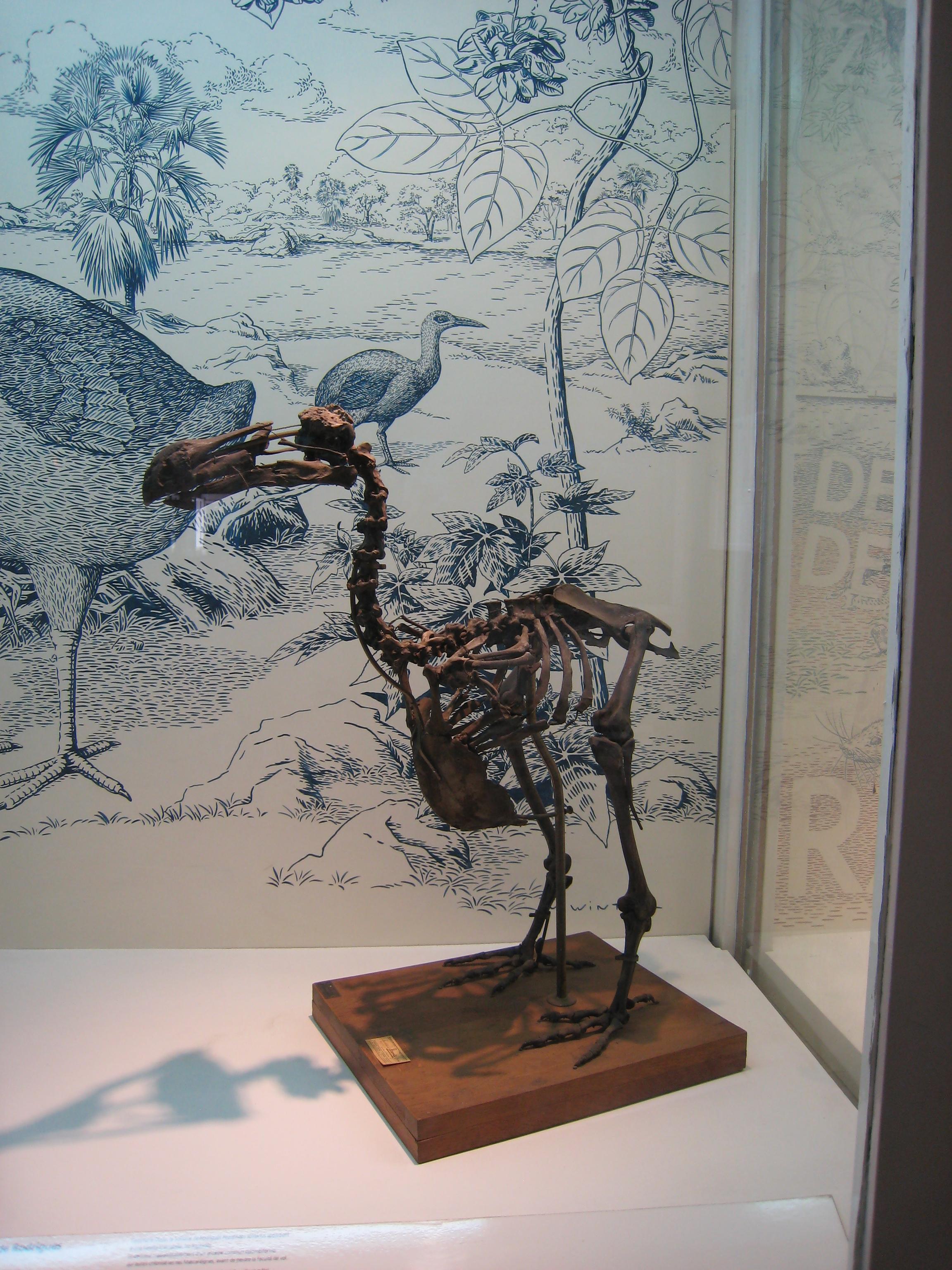 the skeleton of a Do-do bird