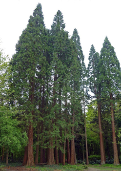 image of redwood forest
