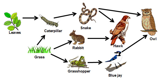 Food Webs And Chains Review